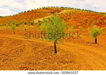 Olive Grove on the Hill in Spain - stock photo