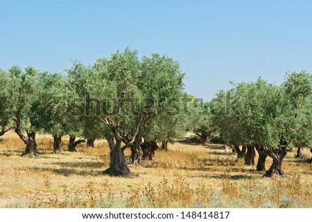 Olive Grove on the Slopes of the Hills of Galilee - stock photo