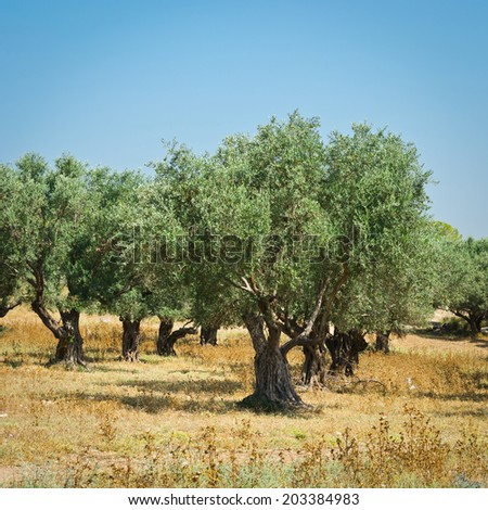 Olive Grove on the Slopes of the Hills of Galilee, Instagram Effect - stock photo