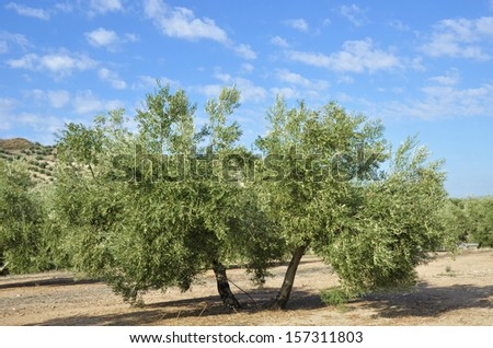 olive groves in Andalucia - stock photo