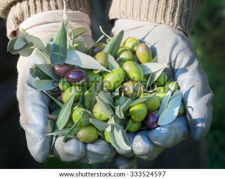 Olive harvest. Lunigiana area of nort uscany, Italy. 2015. - stock photo