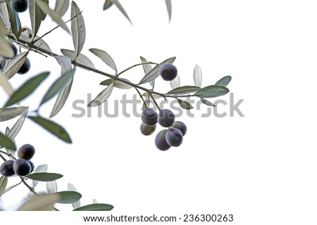 Olive (Olea europaea) sprig with black olives isolated on white background - stock photo