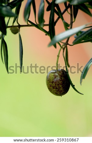 Olive on tree - stock photo