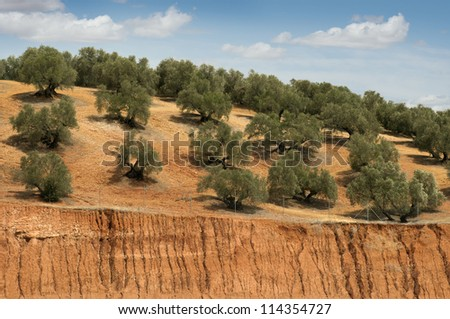 Olive plantation and cloudy sky. Trees on rows - stock photo
