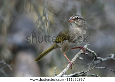 Olive Sparrow - stock photo