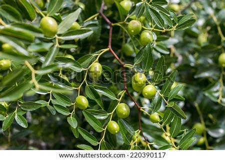 Olive tree branch - stock photo