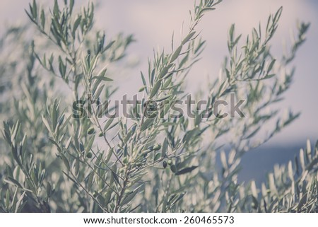 Olive tree branch. Horizontal filtered image with a selective focus - stock photo