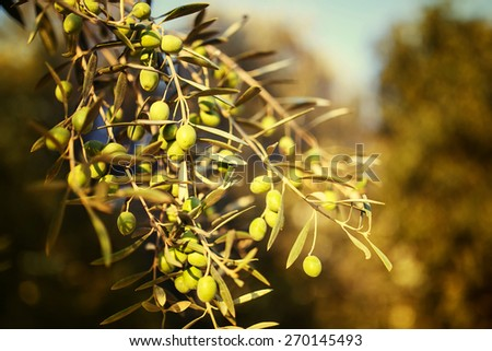 Olive tree branch in autumn. Selective Focus, shallow depth of field. - stock photo