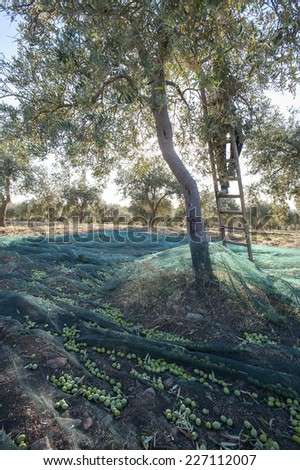 olive tree during the harvest - stock photo
