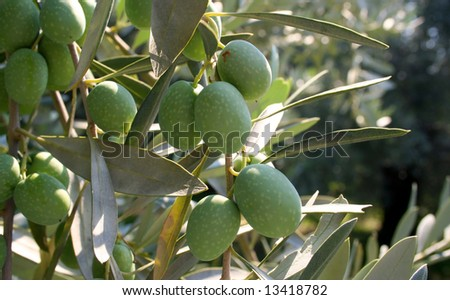 olive tree greece - stock photo