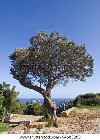 Olive tree in a typical Mediterranean landscape with the sea beyond - stock photo
