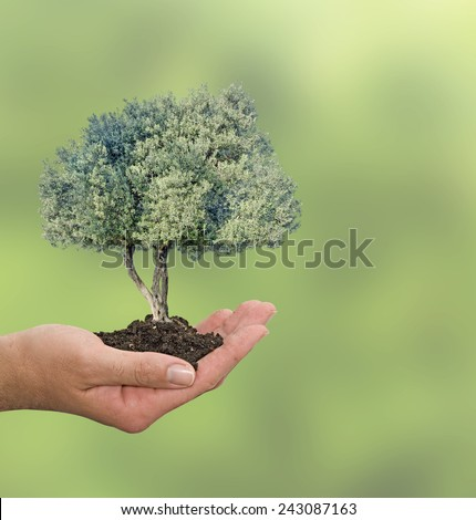 Olive tree in hand as a gift - stock photo