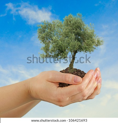 Olive tree in hands as a gift - stock photo