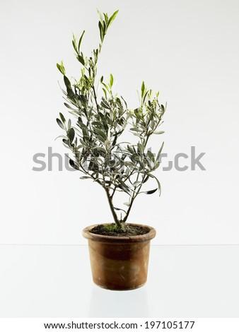Olive tree in pot, studio shot - stock photo