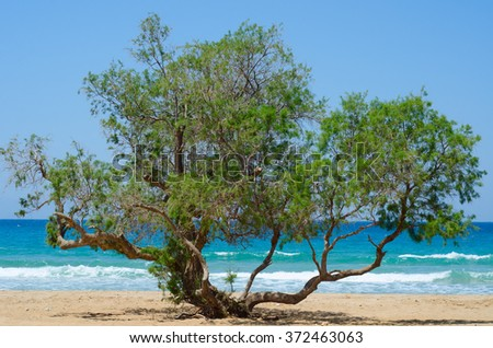 Olive tree on a sandy beach on the background of blue sea - stock photo