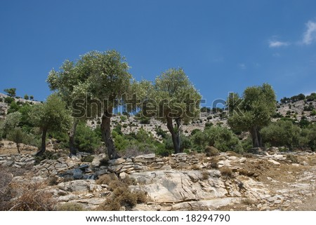 Olive tree planting in mountain area of Thassos island Greece - stock photo