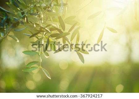 Olive tree with leaves, natural sunny agricultural food  background  - stock photo