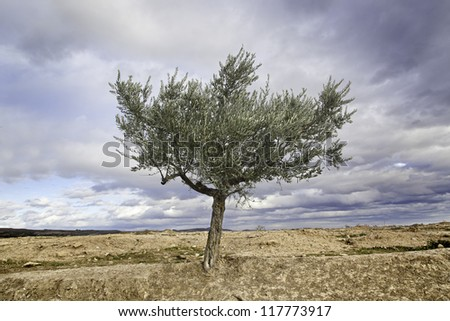Olive tree with sky, detail of outer tree, oil - stock photo