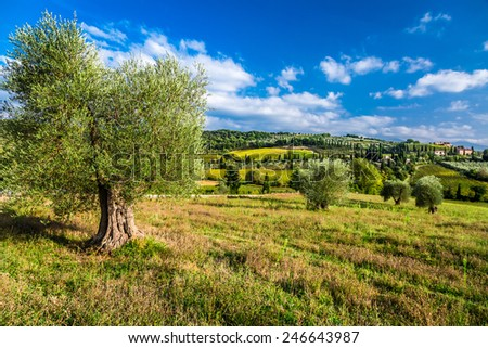 Olive trees and fields in Tuscany - stock photo