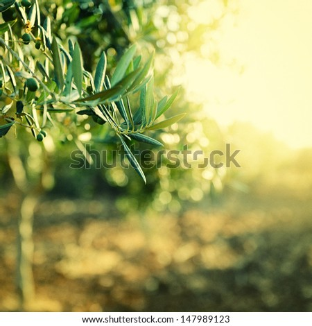 Olive trees garden, mediterranean olive field ready for harvest, toned and grain added - stock photo
