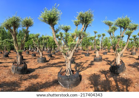 Olive trees which are grown up for sale on a plantation - stock photo