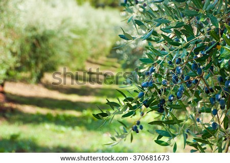 Olive trees with olives - stock photo