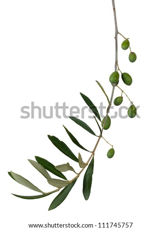 Olive twig over white - stock photo