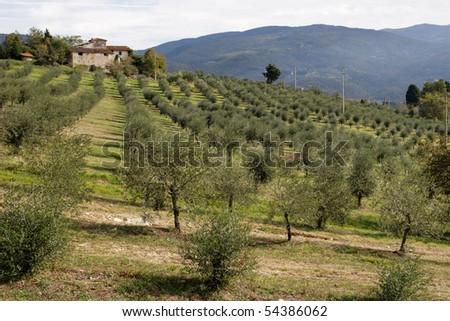 Olive yard - Tuscany - stock photo