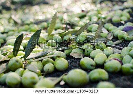 Olives harvest - stock photo