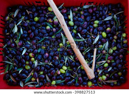 Olives harvest and picking sticks at Mediterranean Spain - stock photo