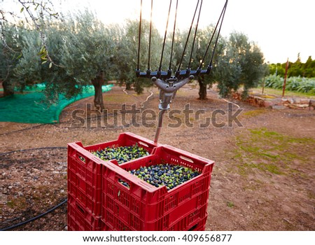 Olives harvest and picking vibration fork tool at Mediterranean - stock photo