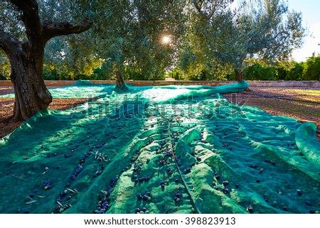 Olives harvest picking with net at Mediterranean in olive trees field - stock photo