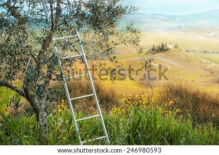 Olives harvesting in a field in Tuscany - stock photo