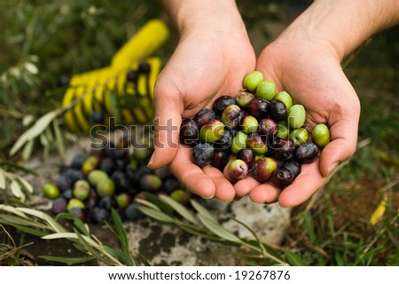 Olives in hands - stock photo