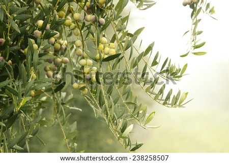 Olives in the olive grove - stock photo