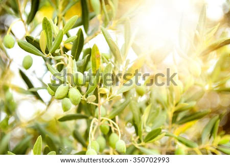 Olives on olive tree branch. Detail closeup of Green olives fruits with selective focus and shallow depth of field - stock photo