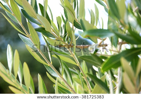 Olives on olive tree branch. Olive tree - stock photo