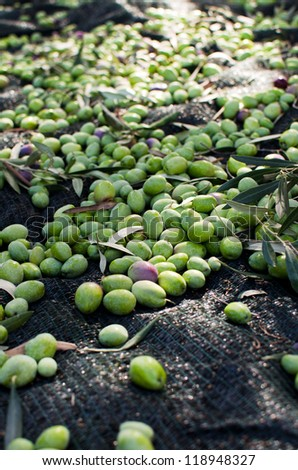 Olives on the ground - harvest day - stock photo