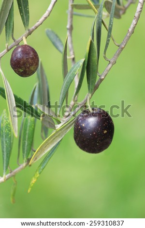 Olives on Tree - stock photo