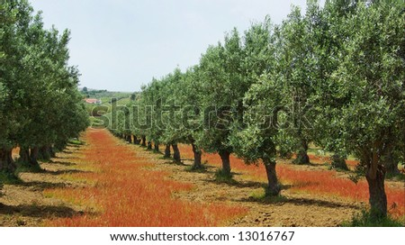 Olives tree in colored field at Portugal. - stock photo