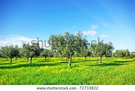 Olives tree in green field at soutt region of Portugal. - stock photo
