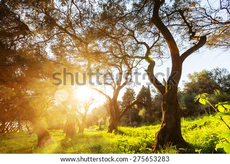 Olives trees in Greece - stock photo