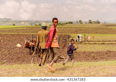 OMO, ETHIOPIA - SEPTEMBER 19, 2011: Unidentified Ethiopian boys in the field with cows. People in Ethiopia suffer of poverty due to the unstable situation - stock photo