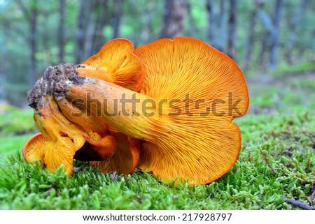 omphalotus olearius   - stock photo