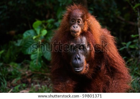 On a back at mum. A small cub, strong having seized, the orangutan goes on a back at mum. - stock photo