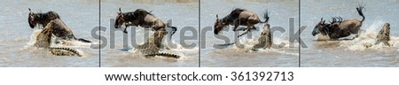 On a hair from death. Crossing through the river Mara.The antelope Blue wildebeest ( connochaetes taurinus ), has undergone to an attack of a crocodile. - stock photo