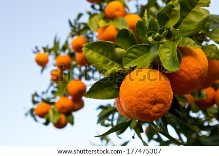 on citrus plantation in Spain  ripe oranges in large numbers on the branches of a tree - stock photo