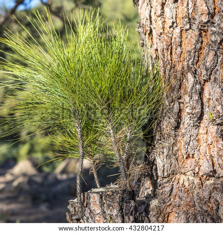 On the edge of the lava fields at the foot of the volcano Teide on Tenerife, the trunks of all pine trees burnt by fire. Young shoots sprout through the baked crust. - stock photo