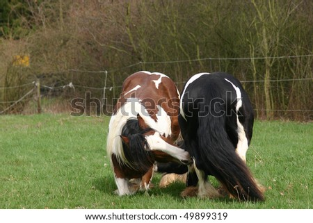 on the knees - young Irish cobs - stock photo