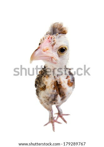 one adolescent comose chick stand on white background, close up, look on camera - stock photo